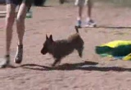Terriers Do Dog Agility When It Works For Them