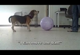 Introducing Treibball to Your Agility Dog