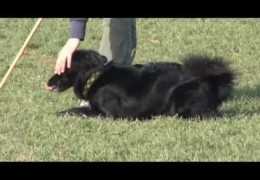 What Can a Croatian Sheepdog Do? Just Watch