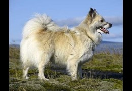 More About the Rare Icelandic Sheepdog
