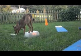 Agility Foundation Training is a Snap for Koolies