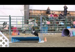 """Zero the """"German"""" Koolie Excels in Dog Agility"""