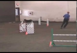 """""""Dobie-Rockets"""" Are Consistant in Dog Agility"""
