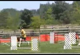 Two of Dog Agility's Fastest Dogs Side by Side
