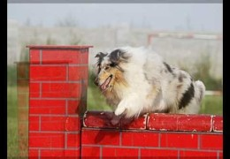 Rough Collie A Blue Pearl Sky Eats Up Her 1st Dog Agility Competition