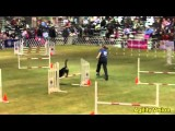 Earl the Entlebucher Sennenhund Excels in Dog Agility