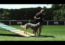 Starting Your Dog on the Dog Agility A-Frame