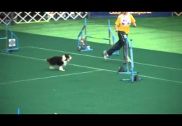 These Shetland Sheepdogs are Fast and Demanding