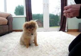 This Sheltie Puppy Will Steal Your Heart With His Abilities