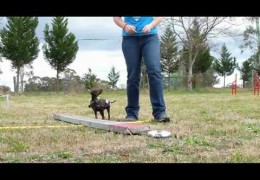 Puppy Dog Agility Shaping Work Success