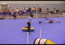 This Terrier Runs Dog Agility With Determination