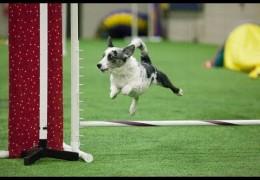 Speedy Petey Loving His Dog Agility Game