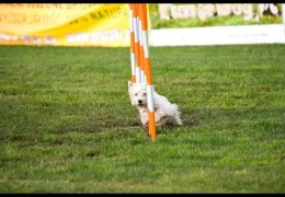 Bobby the Dog Agility Westie Lays Down the Gauntlet