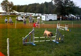 Chinese Shar-Pei, Really, Having a Blast with Dog Agility