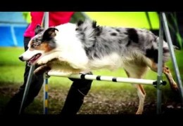 No Competition is More Valuable than Your Agility Dog's Health