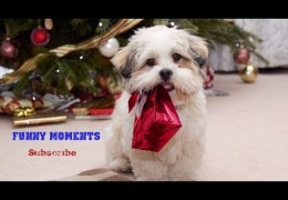 Do your Dogs open Christmas Presents