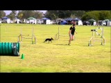 Manchester Terrier, Trixie, is Brilliant in Dog Agility