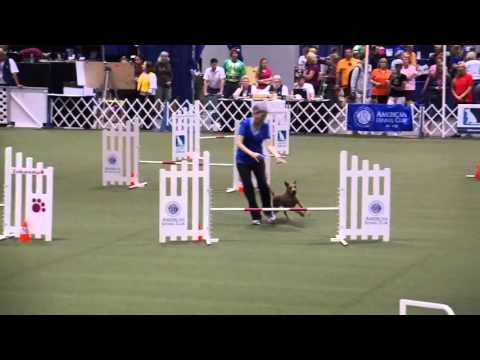This Irish Terrier Owns The 2015 Akc Agility Invitational