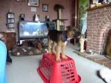 Terrier Pup Demonstrates Body Awareness Exercises Pt 1