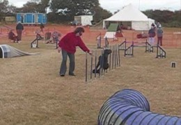 Guinness is a Super Dog Agility Poodle