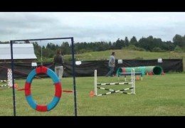 Staffordshire Bull Terrier is Greased Lightning in CKC Dog Agility