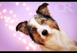 Border Collies Equal Speed in Dog Agility
