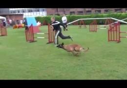 Amazing Belgium Malinois runs Dog Agility FAST