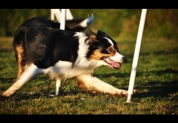 Extreme Dog Agility Weave Pole Proofing