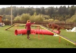 This Irish Setter is Loving Dog Agility Training