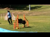 Cookie Monster the Puli Eats up This Dog Agility Course