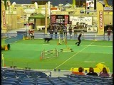 A Giant Schnoodle Doing Dog Agility in Montreal