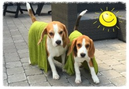 10 Great Ideas to Help Keep Your Agility Dog Cool