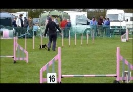 Tiny Min Pin Isn't Small in Power in Dog Agility