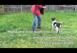 Treibball: Retraining a Nose Touch to a Ball Biter