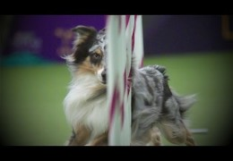 Holster Takes the Win at 2016 Master Agility Championship