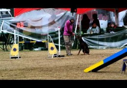 This Doberman Loves Dog Agility and is Fun to Watch