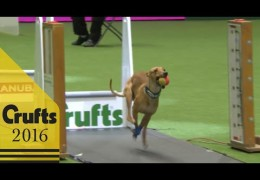 Crufts 2016 Flyball Team Finals