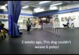 Proofing Dog Agility Weave Poles with Squeaky Toys