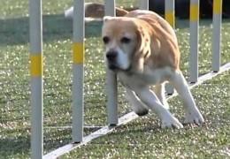 Watch Breakaway Dog Agility Equipment in Action