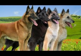 Major Differences Between the 4 Belgian Shepherd Breeds