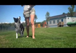 Attention While Walking or Dog Agility Shadow Handling