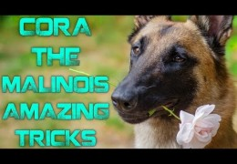 Fun Tricks Performed by Cora the Belgium Malinois