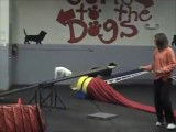 Mily the Amazing 6 Pound Agility Dog