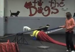 Mily the Amazing 6 Pound Agility Dog