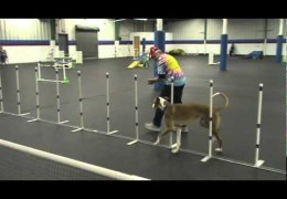 This Pharaoh Hound Loves Running Dog Agility