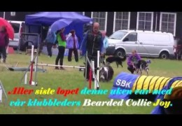 Schapendoes & Bearded Collie Running Dog Agility