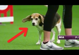 Mia's Brilliant but Comical Dog Agility Run