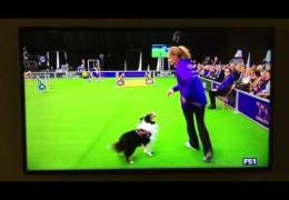 Lucky the Shetland Sheepdog Crushes Dog Agility