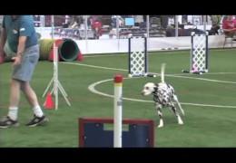 Dalmatian Indie Earns Her MACH 3