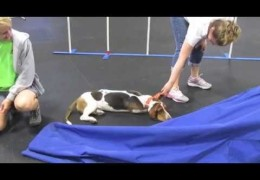 This Basset Decides Dog Agility Practice is Over